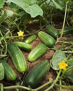 240px-ARS_cucumber